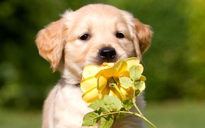 dog, flower, puppy, animals, rose