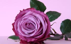 flower, rose, purple, flowers