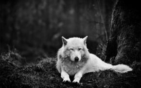 wolf, white, forest, eyes, animal