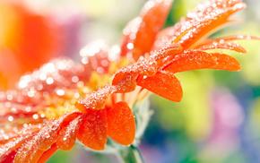 flower, drops, macro, petals