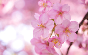 petals, flowers, twigs, tree, sakura