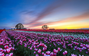 flowers, trees, tulips, nature, evening