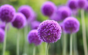 purple, nature, depth of field, flowers, purple flowers