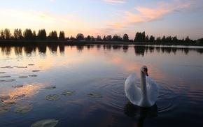 озеро, лебедь, закат, классика, вечер, природа