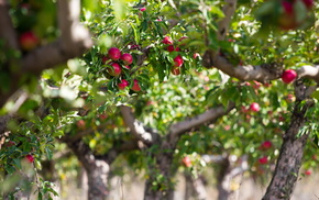 apples, nature