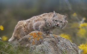 nature, animals, feline, lynx, baby animals