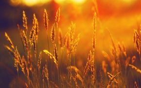 sunlight, sunset, nature, spikelets