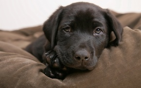 dog, puppies, animals, Labrador Retriever