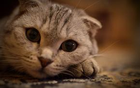 cat, eyes, mustache, animals