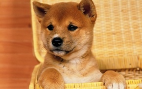 baskets, dog, Shiba Inu, animals