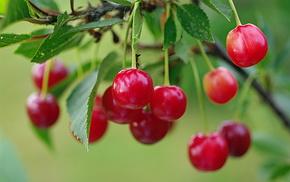 nature, cherry, summer