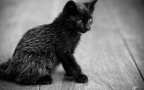 kitten, sit, black, animals