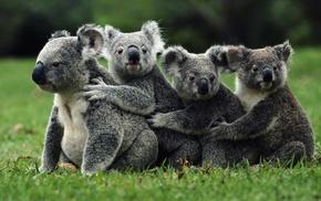 koalas, animals, nature
