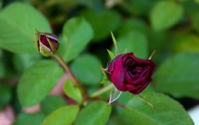 rose, flower, flowers