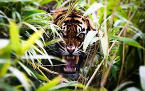 animals, tiger, roar, plants, depth of field