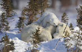 animals, winter, game, white, bear