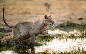 львы, Обои животные, охота, вода., львица, животные