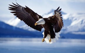wildlife, nature, bald eagle, animals, birds, flying