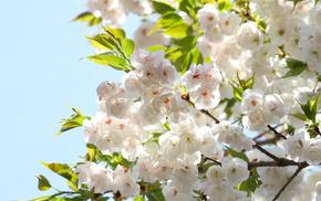 flowers, leaves, spring, sky, sakura