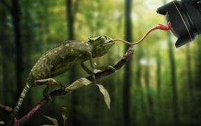Фотограф, Рептилии, Язык, Хамелеон, Животные