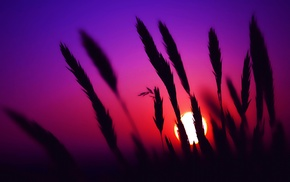 nature, sunset, spikelets, silhouette