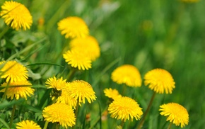 nature, flowers, yellow, grass, green