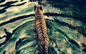 water, nature, tiger, rain