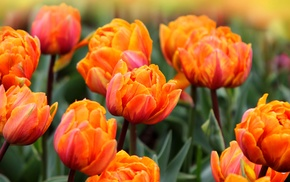 tulips, photo, spring, nature, flowers