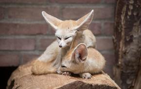 animals, fox, fennec