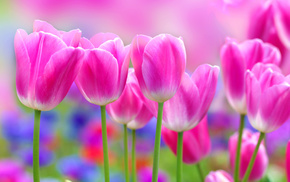 flowers, background, tulips, spring, pink