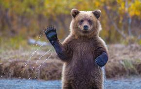 animals, nature, bear, river, drops