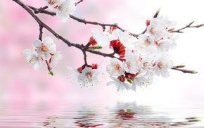 flowers, reflection, water, spring, sakura
