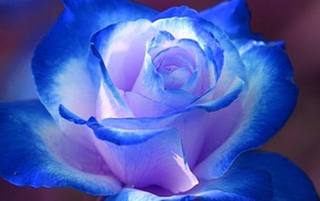 flowers, macro, rose