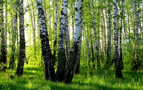 birch, nature, forest