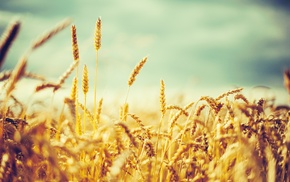 wheat, nature, crops, photography