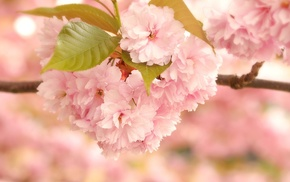 sakura, flowers, leaves, spring, macro