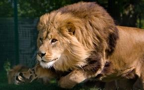 animals, predator, lion