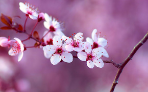 branch, cherry, background, flowers, tree