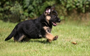 dog, animals, puppies, German Shepherd