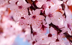 nature, flowers, cherry, macro, spring