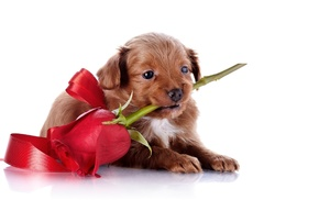 puppy, white background, dog, rose, animals