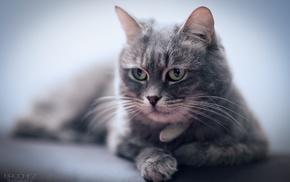 animals, rest, lies, cat, muzzle
