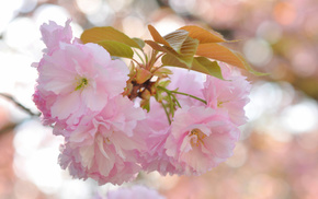 flowers, leaves, macro, branch, sakura