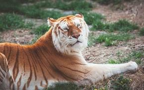nature, predator, tiger, yellow, animals