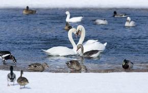 snow, water, animals, pond, couple